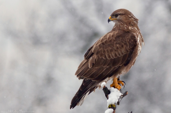 Common Buzzard/Buteo buteo - Photographer: Николай Шопов
