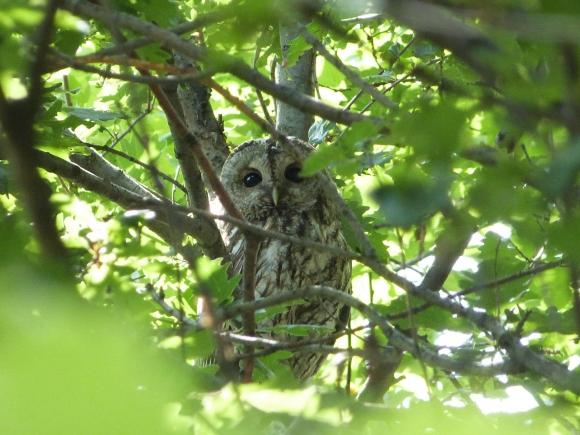 Tawny Owl/Strix aluco - Photographer: Йордан Василев