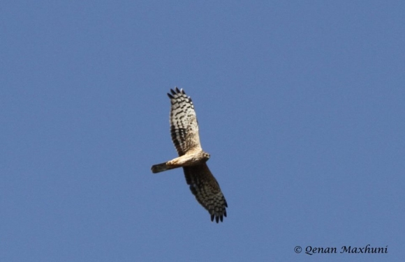 Northern Harrier/Circus cyaneus - Photographer: Qenan Maxhuni