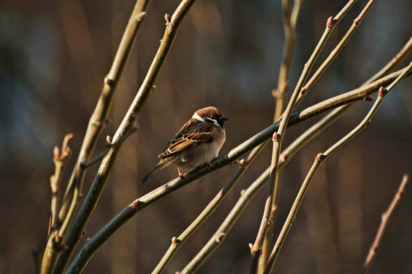 Eurasian Tree Sparrow/Passer montanus - Photographer: Фани Михайлова