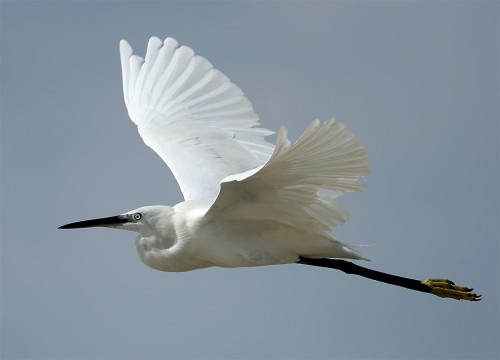 Little Egret/Egretta garzetta - Photographer: Виктор Янев
