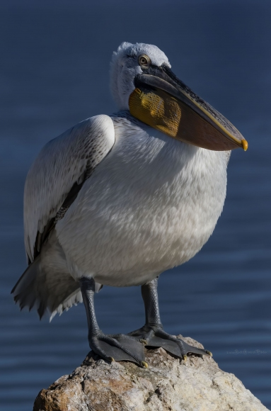 Great White Pelican/Pelecanus onocrotalus - Photographer: Rick Ground