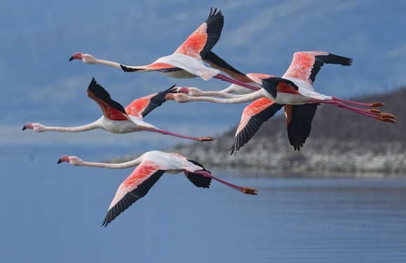 Greater Flamingo/Phoenicopterus roseus - Photographer: Rick Ground