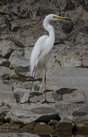 Great Egret/Ardea alba - Photographer: Rick Ground