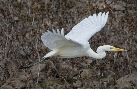 Great Egret/Ardea alba - Photographer: Rick Ground
