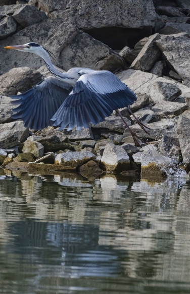 Grey Heron/Ardea cinerea - Photographer: Rick Ground