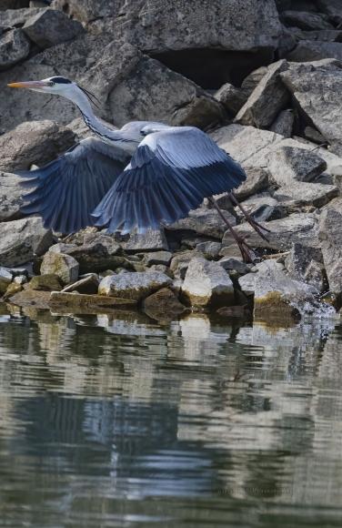 Grey Heron/Ardea cinerea - Photographer: Rick Ground