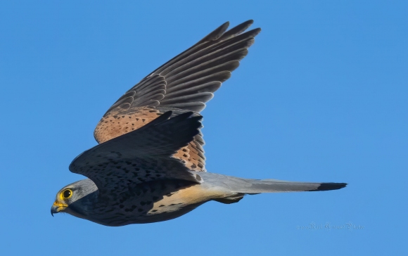 Common Kestrel/Falco tinnunculus - Photographer: Rick Ground