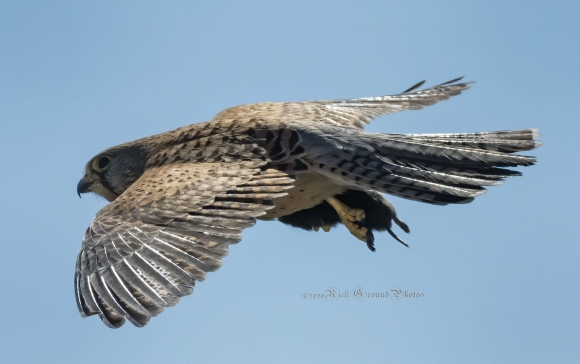 Common Kestrel/Falco tinnunculus - Photographer: Rick Ground