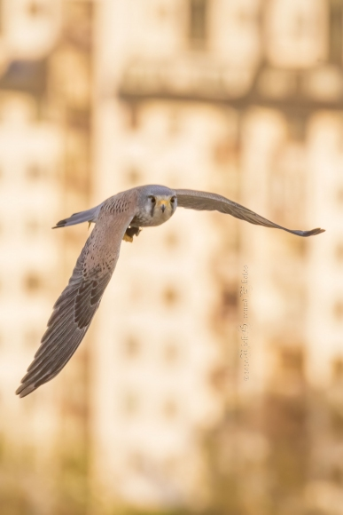 Черношипа ветрушка/Falco tinnunculus - Фотограф: Rick Ground