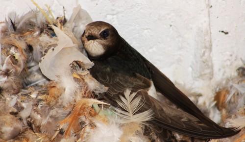 Little Swift/Apus affinis - Photographer: Георги Герджиков