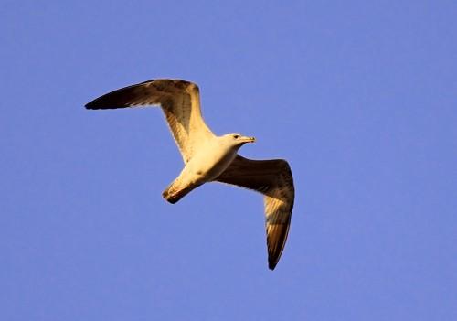 Great Black-headed Gull/Larus ichthyaetus - Photographer: Ники Петков