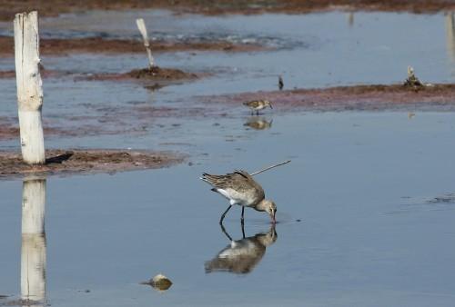 Black-tailed Godwit/Limosa limosa - Photographer: Атанас Атанасов