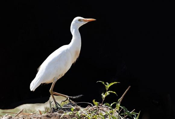 Биволска чапла/Bubulcus ibis - Фотограф: Zeynel Cebeci