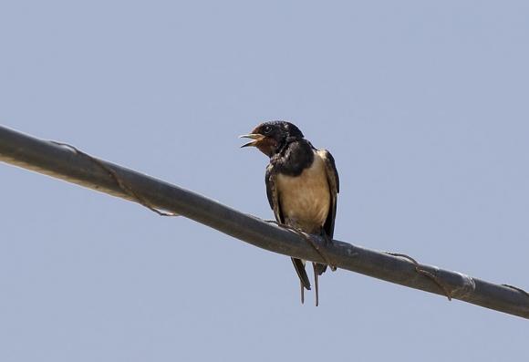 Barn Swallow/Hirundo rustica - Photographer: Zeynel Cebeci