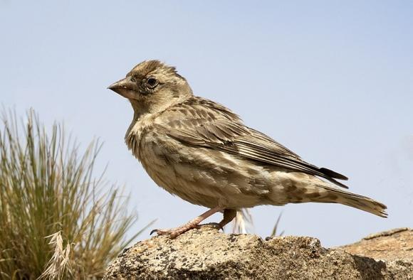 Rock Sparrow/Petronia petronia - Photographer: Zeynel Cebeci