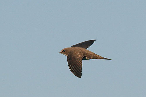 Alpine Swift/Tachymarptis melba - Photographer: Младен Василев