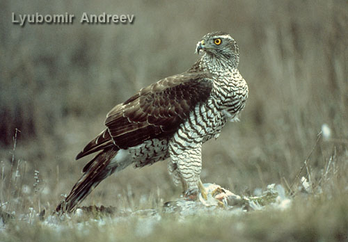 Northern Goshawk/Accipiter gentilis - Photographer: Любомир Андреев - Лу_пи