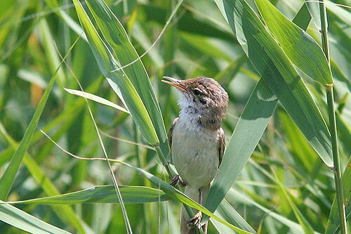 Eurasian Reed-warbler/Acrocephalus scirpaceus - Photographer: Младен Василев