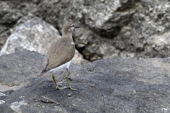 Common Sandpiper/Actitis hypoleucos - Photographer: Zeynel Cebeci