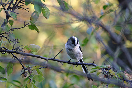 Long-tailed Tit/Aegithalos caudatus - Photographer: Пьотър Шпаковски