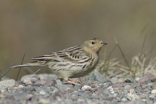 Red-throated Pipit/Anthus cervinus - Photographer: Димитър Георгиев