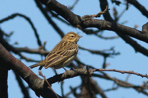 Meadow Pipit/Anthus pratensis - Photographer: Младен Василев