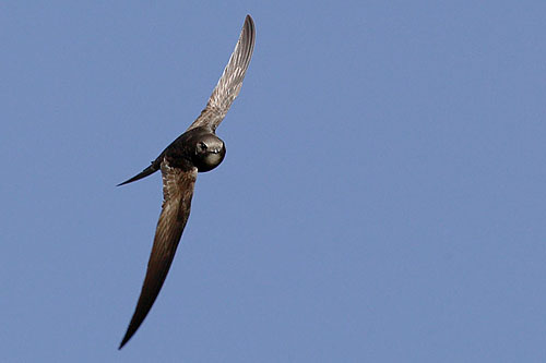 Common Swift/Apus apus - Photographer: Николай Димитров