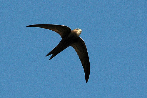 Pallid Swift/Apus pallidus - Photographer: Тео Тодоров