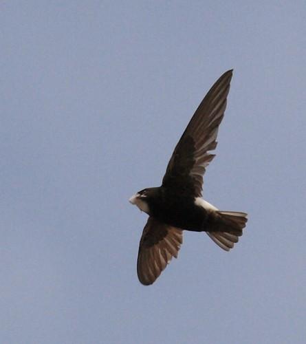 Little Swift/Apus affinis - Photographer: Нели Олова