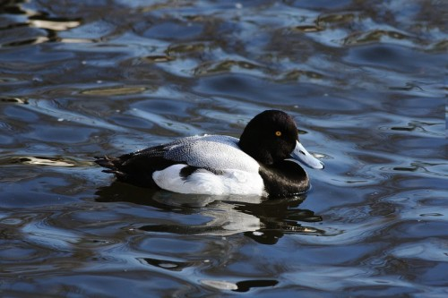 Greater Scaup/Aythya marila - Photographer: Ники Петков