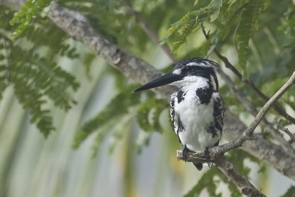 Pied Kingfisher/Ceryle rudis - Photographer: Jacek Nalepa