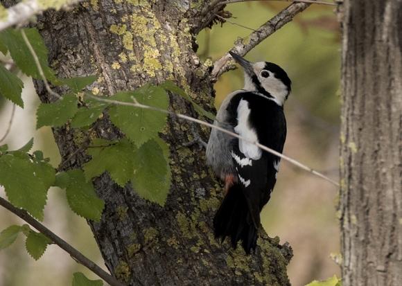 Syrian Woodpecker/Dendrocopos syriacus - Photographer: Zeynel Cebeci