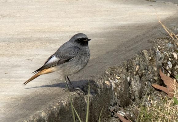 Black Redstart/Phoenicurus ochruros - Photographer: Zeynel Cebeci