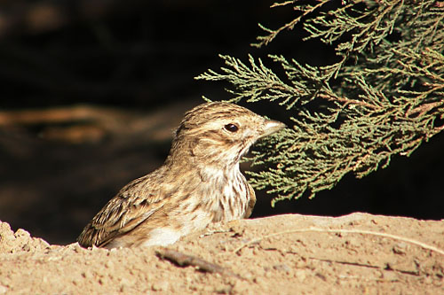Lesser Short-toed Lark/Calandrella rufescens - Photographer: Ники Петков