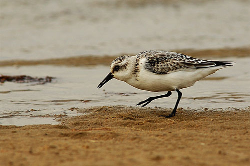 Sanderling/Calidris alba - Photographer: Тео Тодоров