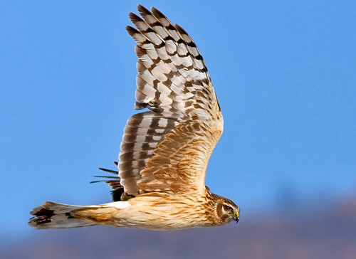 Northern Harrier/Circus cyaneus - Photographer: Иван Иванов