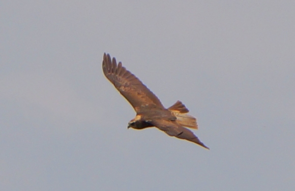 Western Marsh-harrier/Circus aeruginosus - Photographer: Георги Петров