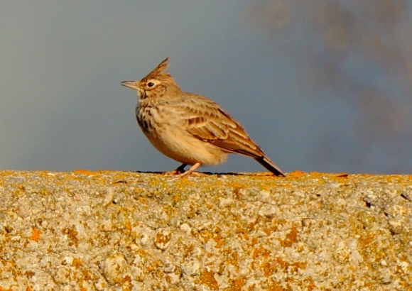 Crested Lark/Galerida cristata - Photographer: Георги Петров