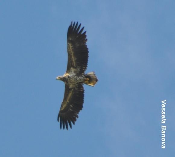 White-tailed Eagle/Haliaeetus albicilla - Photographer: Весела Банова