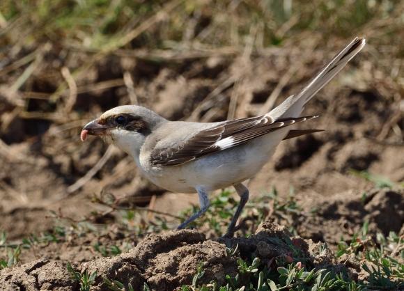 Lesser Grey Shrike/Lanius minor - Photographer: Иван Петров