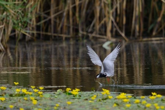 Whiskered Tern/Chlidonias hybridus - Photographer: Frank Schulkes