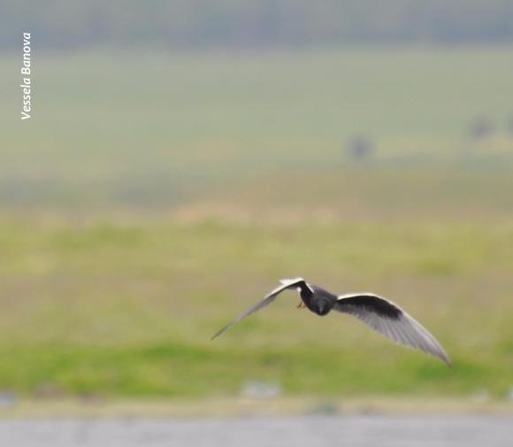 White-winged Tern/Chlidonias leucopterus - Photographer: Весела Банова