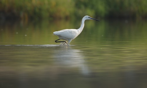 Little Egret/Egretta garzetta - Photographer: Стефан Стефанов