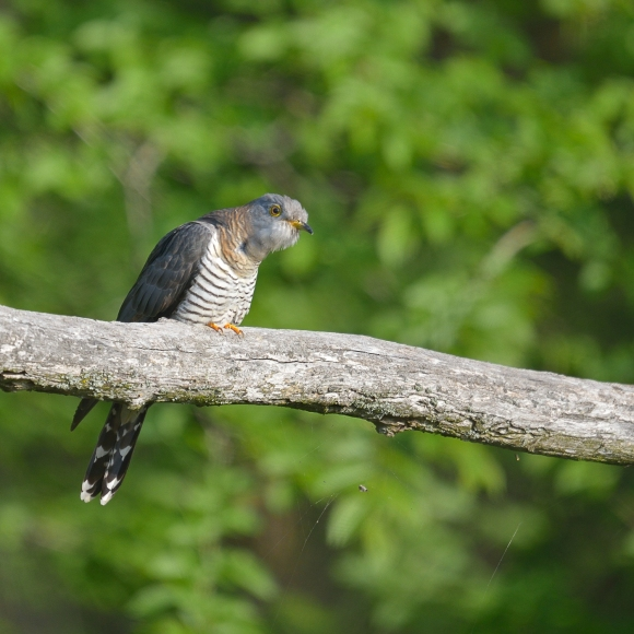 Common Cuckoo/Cuculus canorus - Photographer: Frank Schulkes