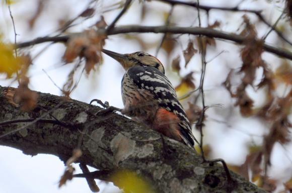 White-backed Woodpecker/Dendrocopos leucotos - Photographer: Весела Банова