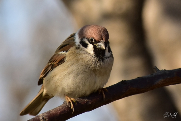 Eurasian Tree Sparrow/Passer montanus - Photographer: Лилия Василева