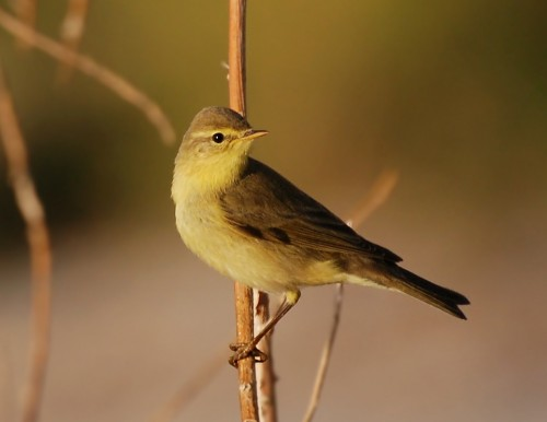 Willow Warbler/Phylloscopus trochilus - Photographer: Иван Петров