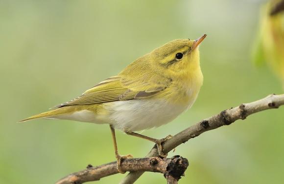 Wood Warbler/Phylloscopus sibilatrix - Photographer: Иван Петров