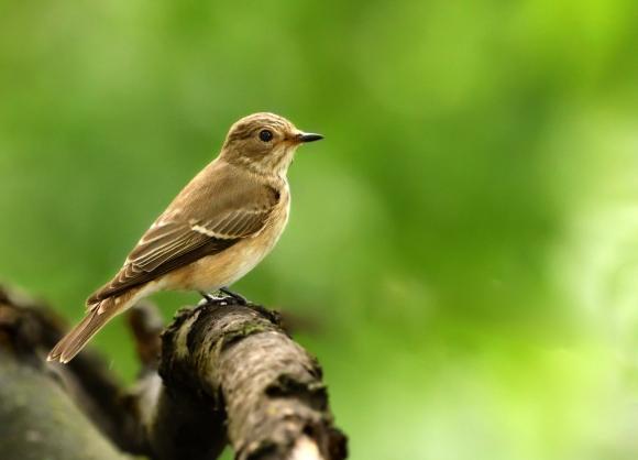 Spotted Flycatcher/Muscicapa striata - Photographer: Иван Петров